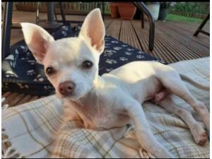 Piglet - Male Chihuahua (Smooth Coat) Photo