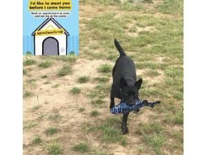 Pablo - Male Patterdale Terrier Photo