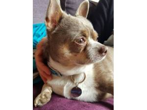 Keanu - Male Chihuahua (Smooth Coat) Photo