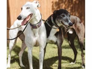 Sydny - Male Greyhound Photo