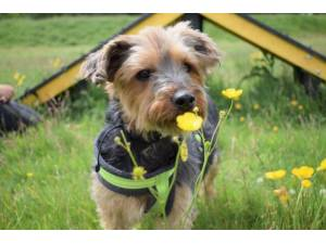 Charlie - Male Terrier: Yorkshire Photo