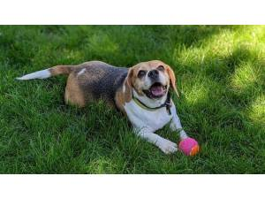 Coco - Female Beagle Photo