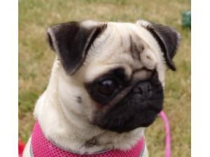 Peanut - Female Pug Photo