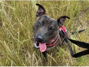 Navigation - English Bull Terrier  crossbreed Photo