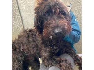 Offer - Male Labradoodle Photo