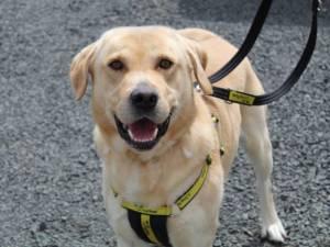 Bailey - Male Labrador Photo