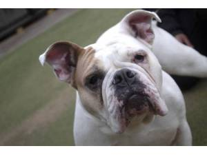 Bella - Female Bulldog: English Photo
