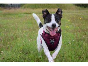 Bracken - Female Jack Russell Terrier (JRT) Photo