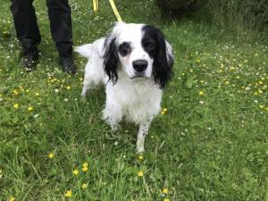 Quincey - Male Spaniel Cross Photo