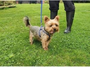 Navigation - Yorkshire Terrier Photo