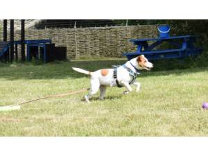 JACK - Male Terrier: Parson Russell Photo