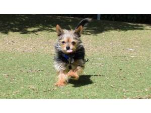 GIZMO - Male Terrier: Yorkshire Photo