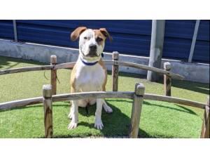 HENLEY - Female Terrier: Staff Bull Photo