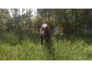 KING - Male Greyhound Photo