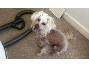 SPIKE (& KINGY) - Male Chinese Crested Photo