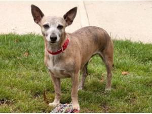 Navigation - Chihuahua (Smooth coat)  crossbreed Photo
