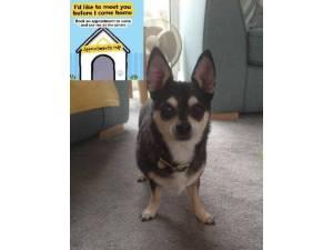 Boyde - Male Chihuahua: Short Hr Photo