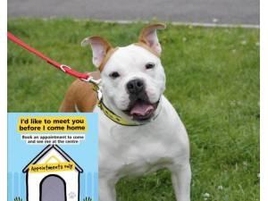 Daphne - Female Bulldog: English Photo
