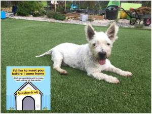Jack - Male West Highland White Terrier Photo