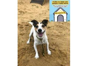 Paddy - Male Jack Russell Terrier (JRT) Photo