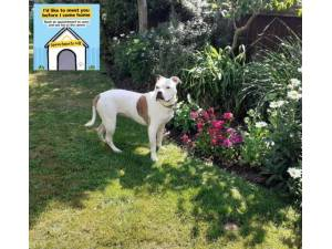 Poppy - Female Bulldog: English Photo