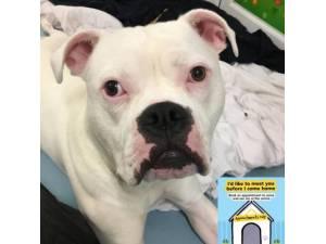 Reece - Male American Bulldog Photo