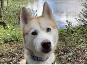 Navigation - Alaskan Malamute
