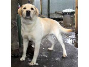 Ollie - Male Labrador Photo