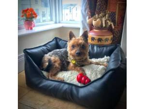 Lucy - Female Terrier: Yorkshire Photo