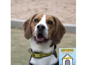 Morris - Male Beagle Photo