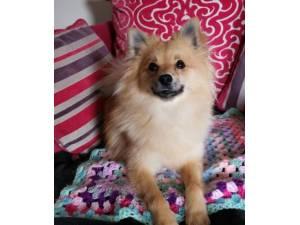 Sora - Female Pomeranian Photo