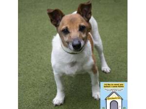 Tommy - Male Jack Russell Terrier (JRT) Photo