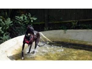 JOHN - Male Greyhound Photo