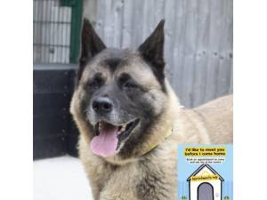Fuji - Female Akita Photo