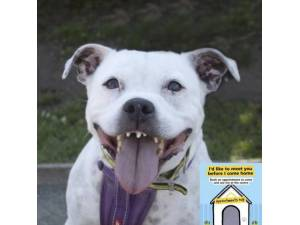 Kia - Female Staffordshire Bull Terrier (SBT) Photo
