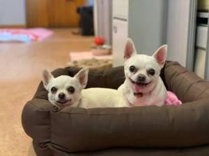 Genis - Female Chihuahua: Short Hr Photo