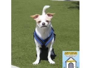 Gizmo - Male Chihuahua: Short Hr Photo