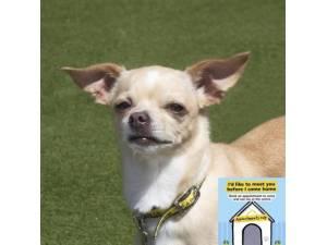 Hunni - Female Chihuahua: Short Hr Photo