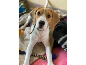 Marleymous - Male Beagle Photo