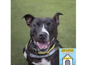 Max - Male Staffordshire Bull Terrier (SBT) Photo