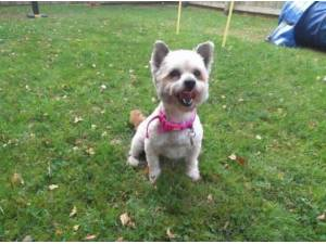 Navigation - West Highland White Terrier  crossbreed Photo
