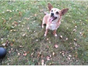 Navigation - Chihuahua  crossbreed Photo
