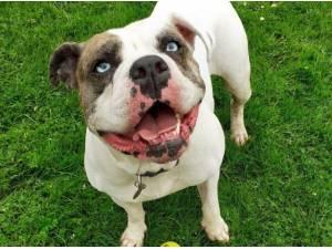 Bulldog Rescue Dogs In Northwich Petlist