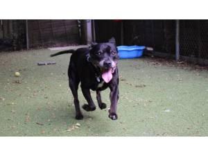 RONNIE - Female Terrier: Staff Bull Photo
