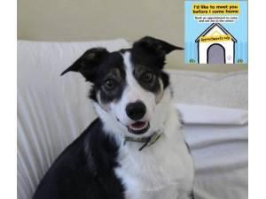 Collie Rescue Dogs In Surrey Petlist