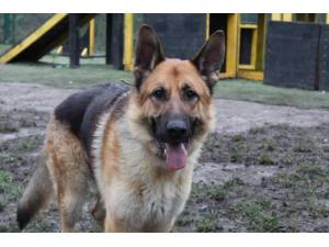 Axil - Male German Shepherd Dog (GSD / Alsatian) Photo