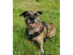 Keke - Female Staffordshire Bull Terrier Cross Photo