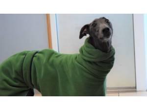 BLUEBELL - Female Greyhound Photo