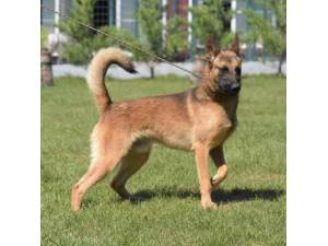 Kai - Male German Shepherd Dog Photo