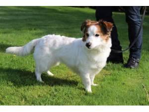 Luna - Female Jack Russell Terrier (JRT) Photo